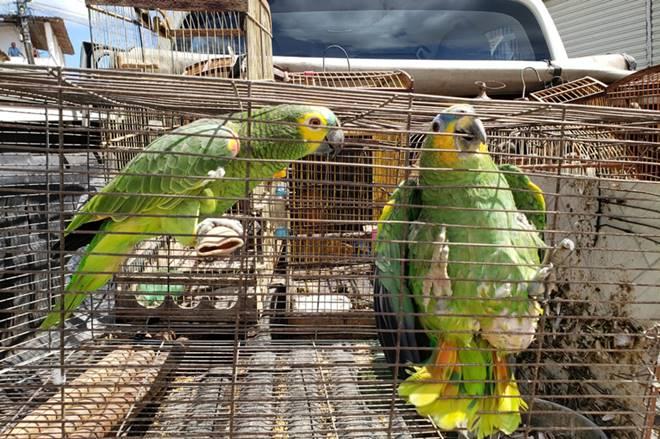 Aves em gaiolas recuperadas pelo IMA e ICMBIO - Divulgação