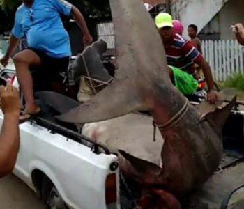 Tubarão-martelo foi capturado por pescadores em praia de Maragogi (AL) — © Reprodução